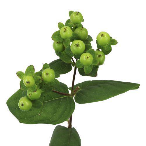 Гиперикум зелёный