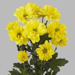 Хризантема Бакарди желтая