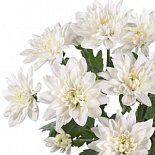 Хризантема  Baltika белая