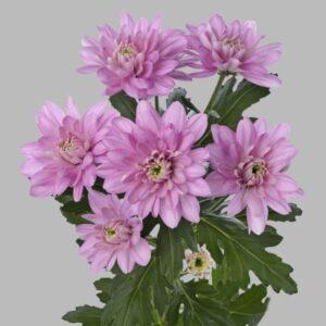 Хризантема  Baltika розовая
