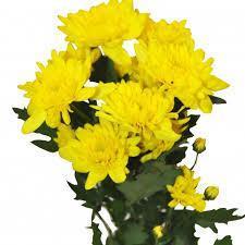 Хризантема Baltika желтая