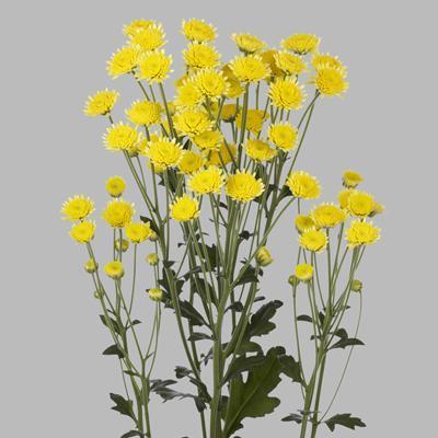 Хризантема Сталион желтая