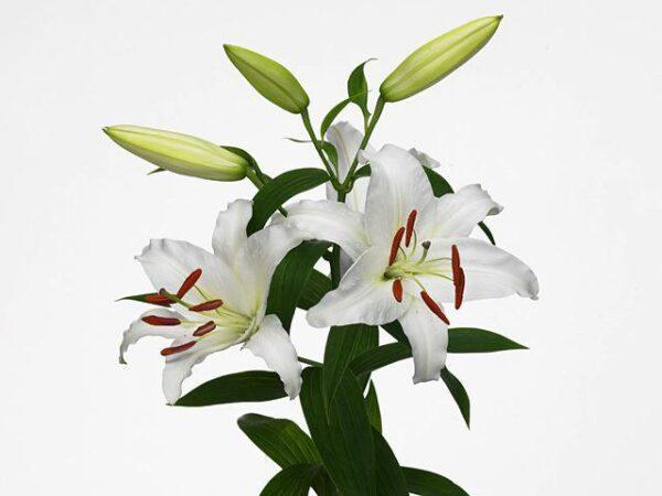 Лилия белая (Эквадор)