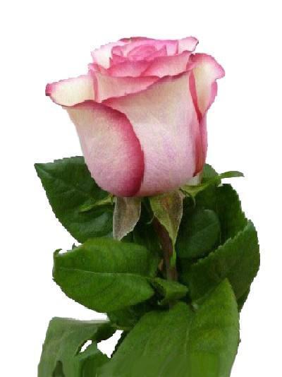 Роза Carrousel 50см