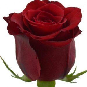 Роза Эквадор Красная 70см