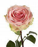 Роза Geraldine 50 см