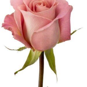Роза Хемоза 60 см