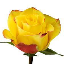 Роза High Yellow 50см