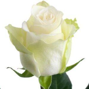 Роза  Mondyal 60 см