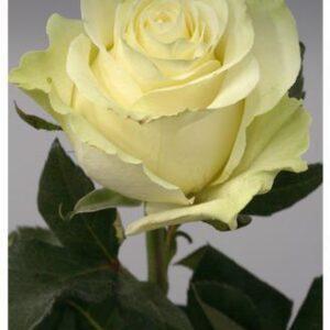 Роза  Mondyal 70см