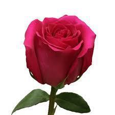 Роза Pink Floyd 50см