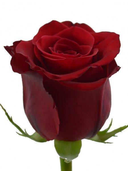 Роза красная 80 см